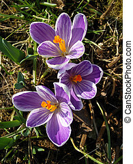 Spring striped lilac crocus.