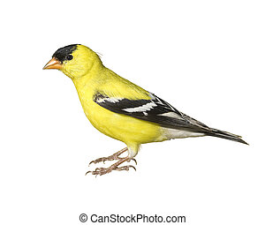 Ontario birds - American Goldfinch, male, isolated. Latin...