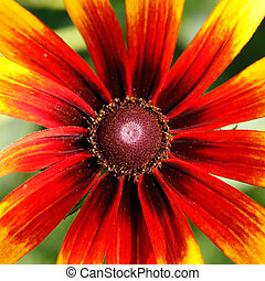 Coneflower (Rudbeckia). - Core of Coneflower (Rudbeckia).