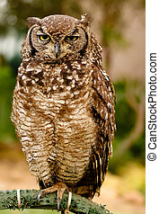 Nightly eyes - Old owl giving a wink to the photographer.
