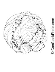 cabbage pencil drawing on white background