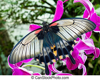 Asian Swallowtail tropic butterfly sucking nectar - Asian...