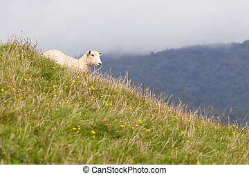 Sheep resting on rich fertile pasture hillside - Single...