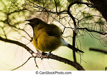 Endemic New Zealand Bellbird, Anthornis melanura, sitting...