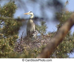 Grey Heron brood nest - Grey Heron Ardea cinerea in nest...