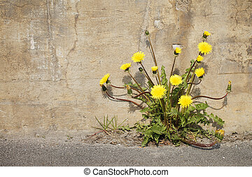 Urban Dandelions - Yellow dandelion flowers growing trough...