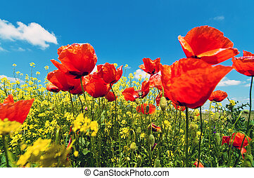 Poppy flowers - Field of corn poppy flowers (Papaver rhoeas)...