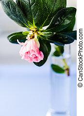 Azalia, flor, vaso