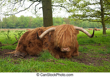 scottish cow - closeup of a scottish cow resting on the...
