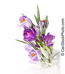 spring crocus flower in snow
