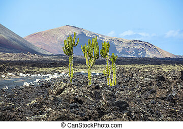 cactus growing on volcanic soil