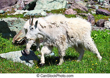 Mountain Goat (Oreamnos americanus) inhabiting the alpine...