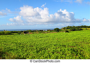 Grazing Land of Saint Kitts - Cows graze in an agricultural...
