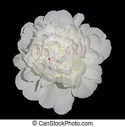 White Peony - Single white peony flower isolated on black...