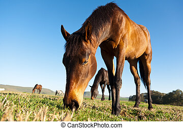 Grazing Horses in open pasture