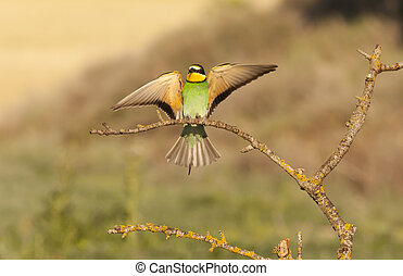 Bee-eater - Bee opened its beautiful wings on a branch