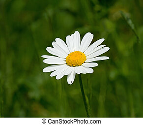 Ox-eye Daisy - White and yellow Ox-eye Daisy during summer...