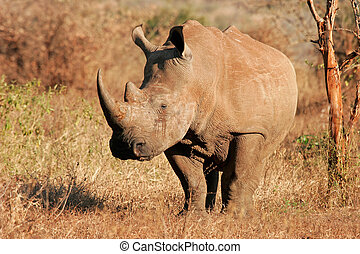 White rhinoceros - White (square-lipped) rhinoceros...