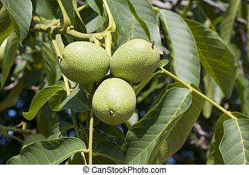 Walnuts on a tree - Green walnuts growing on a tree close up