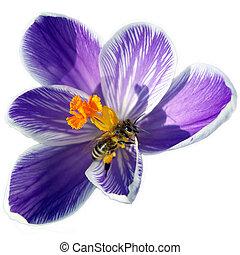 Bee on spring flower - Bee on spring crocus flower