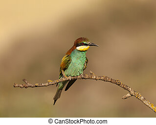 Bee-eater - European bee-eater family scientific name...