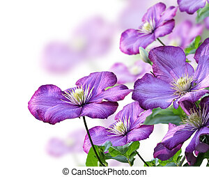 Clematis Flowers - Purple Clematis Flowers On White...
