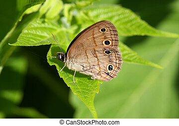Little Wood Satyr Butterfly Megisto cymela warming in...