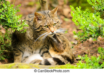 Scottish Wildcat Felis silvestris The domestic cat is...