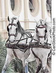 potrait of wonderful carriage white horses in movement,...