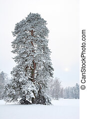 Tall pine tree covered by snow - Tall pine tree covered by...
