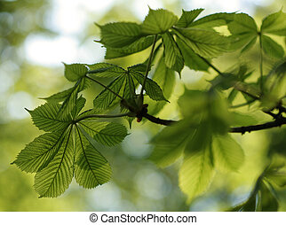 Green chestnut leaves in beautiful light - Chestnut leaves...