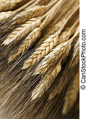wheat sheaf - sheaf of bearded wheat ears on linen
