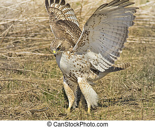 ontario raptors - Red-tailed Hawk, juvenile, attacking a...
