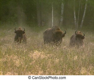 Wisent IUCN Red List book - Wisent Bison bonasus vapour in...