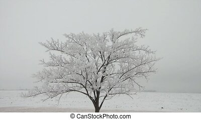 Solitaire Frosty White Tree in Fog - White solitaire tree...