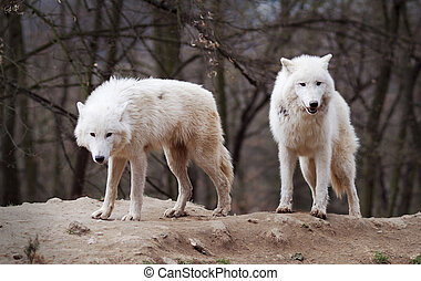 Two Arctic Wolves photographed in a zoo.