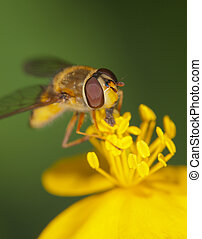pollination - hoverfly on a yellow flower close up