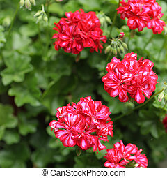 Geraniums - Large group of Bright Pink Geraniums