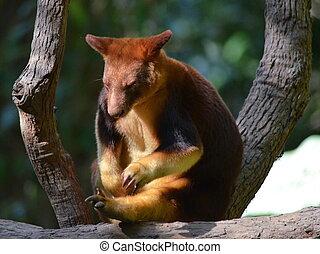 Australian Tree Kangaroo - Native Australian Gibson's Tree...