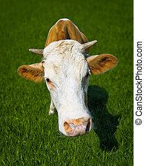 divertido, primer plano, pradera, vaca,  -, retrato