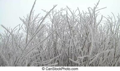 Frosty White Branches Swaying
