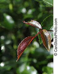 Water Droplets on Red Leafs