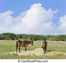 Horses Eating Hay - Two chestnut horses eating hay in an...