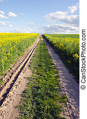 farm road in the spring rapes field