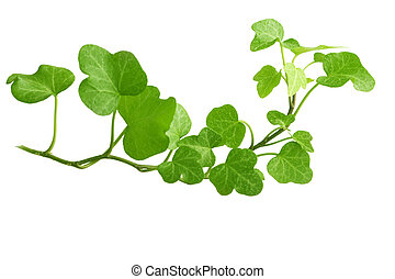 Branch is ivy on a white background - Image of the branch is...