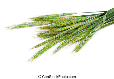 Green rye spikes (Secale cereale), on white background