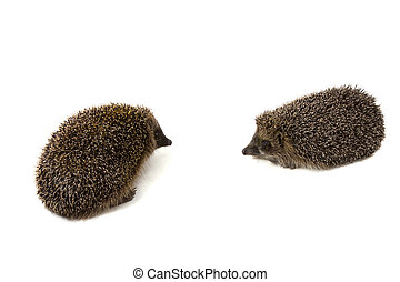 Two hedgehogs on a white background - Picture of two...