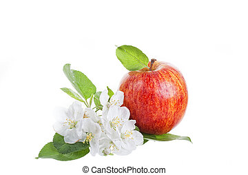 Big red apple and apple-tree flowers