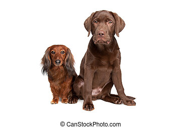 Dachshund and a chocolate labrador pup