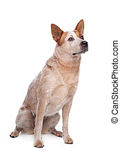 Australian Cattle Dog (red coat) in front of white...